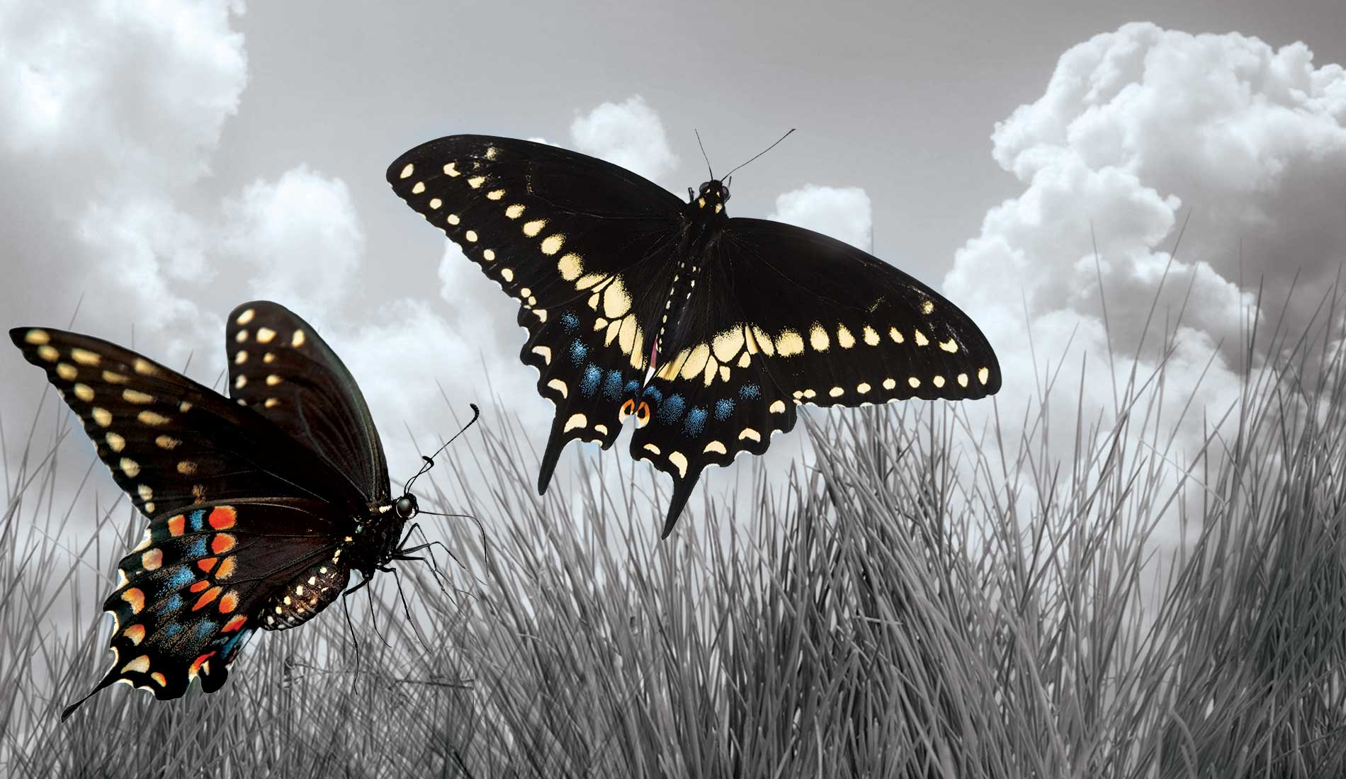 Color pictures of butterflies flying in a grass field.